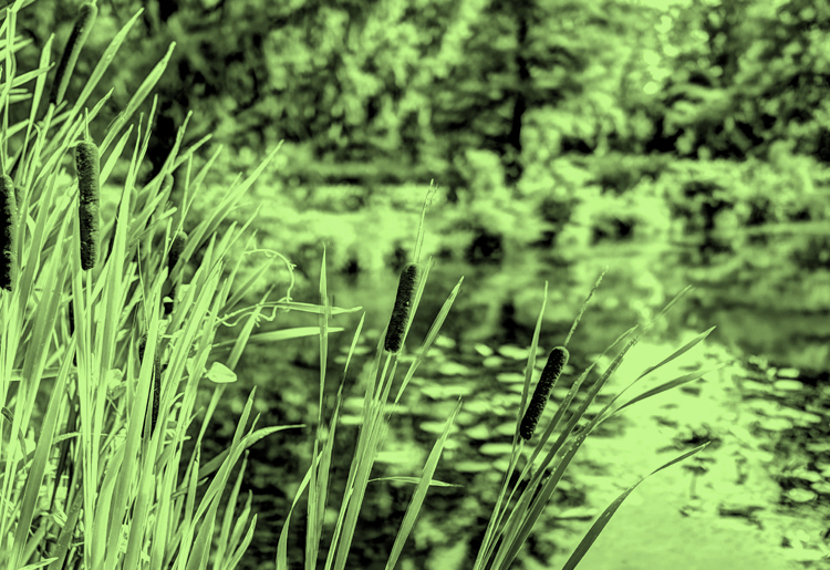 Moody blue aquatic resource management cat tails and green foliage on lake water environment